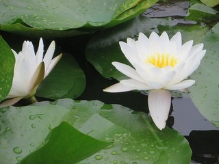 water_lily1.jpg
